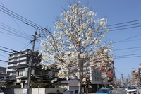 kobushi6_s.jpg
