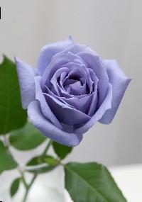 blue_rose[1].jpg