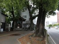 大橋老司線大楠近景.jpg