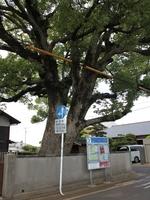 飯倉1丁目クスノキ近景.jpg