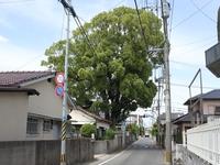 飯倉1丁目クスノキ.jpg