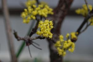 サンシュウの花2.JPG
