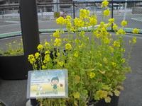 香椎P菜の花①.JPG