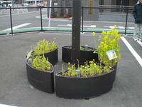 香椎P菜の花②.JPG