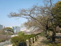 120328 東二の丸 オオシマザクラ (1).JPG