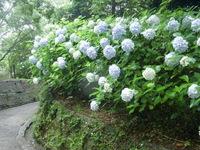 110617 ボタンシャクヤク園 アジサイ満開 (1).JPG