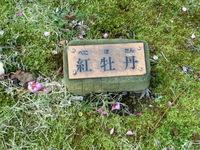130221 梅園 満開 紅牡丹  (1).JPG