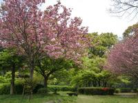 110417 6号濠北側 桜とモミジ (1)hp-8.jpg