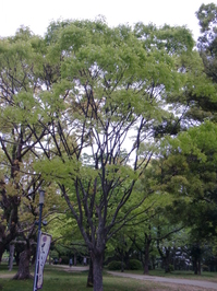 keyaki.JPG