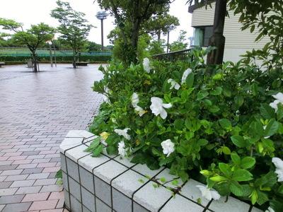 130621 博多の森テニス場クチナシ (1).JPG