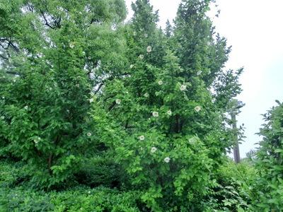 130621 博多の森テニス場夏ツバキ.JPG