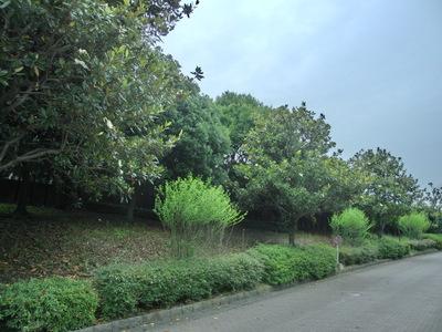 130622 博多の森テニス場 タイサンボク.JPG